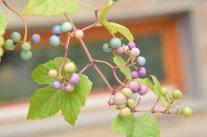 Zierende Früchte im Herbst