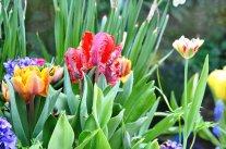 Was tun nach der Zwiebelblumenblüte im Frühling?
