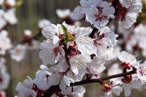 Barbarazweige – Blüten im Winter