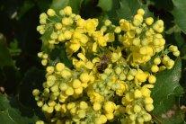 Bienenfreundliche Gehölze blühen schon im Frühjahr