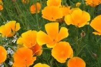 Orange ist die Farbe des Sommers - Kalifornischer Mohn