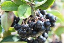 Apfelbeere – die blau-schwarze Superfrucht