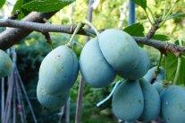 Doppelfrüchte im Obstgarten