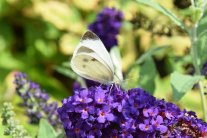 Sommerflieder – Hotspot für Schmetterlinge