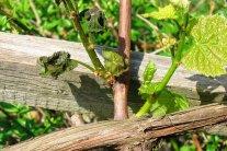 Spätfröste schädigen Obstgehölze