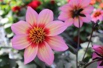 Die besondere Dahlie: Freundin der Bienen und Blumenfreunde