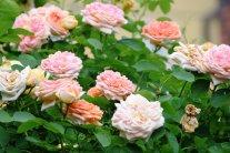 Rosenpflege nach der Blüte