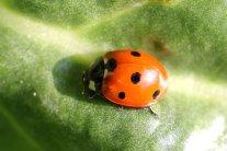 Erste Marienkäfer im Garten
