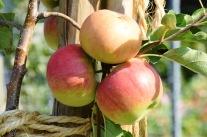 Obst im Garten: Auf die Sorte kommt es an