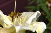 Die Schwebfliege - Fliege im Wespenkostüm