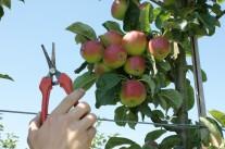Juni-Arbeiten an Obstgehölzen