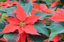 Mit Weihnachtssternen durch den Advent
