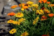 Die Ringelblume – schön und vielseitig