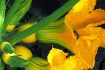 Der bienenfreundliche Gemüsegarten