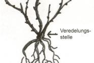 Zeichnung einer Rosem it Wurzelballen.