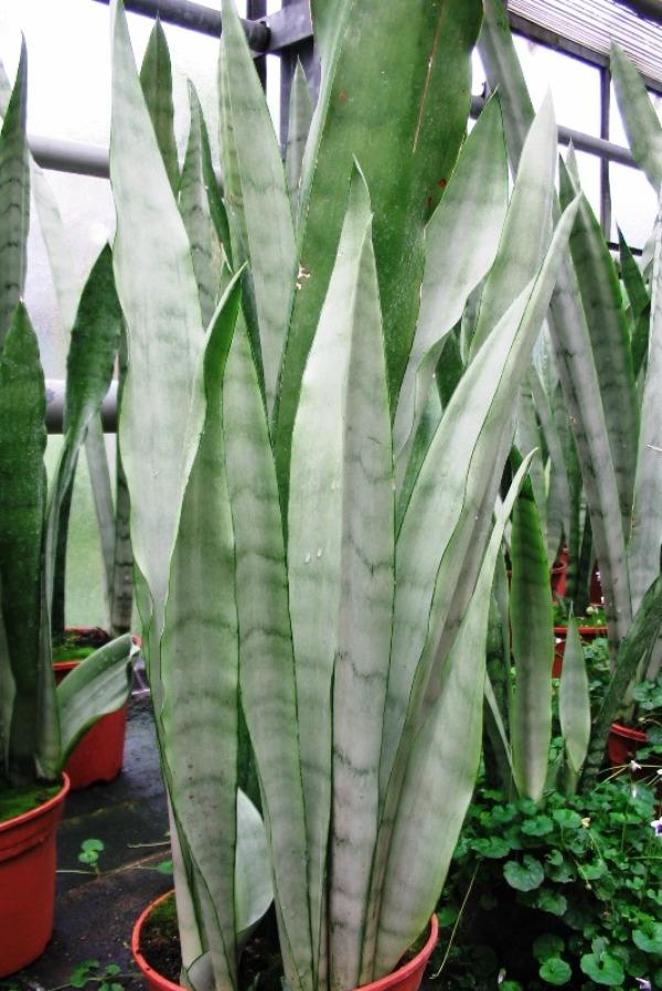 Zimmerpflanzen Ohne Licht welche pflanze kommt mit ohne licht aus goetics com inspiration