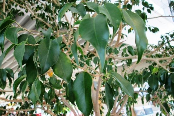 Licht wichtig f r das pflanzenwachstum - Hohe zimmerpflanzen ...