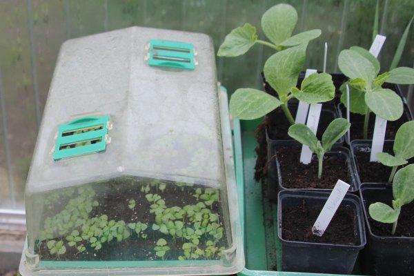 gem se jungpflanzen selbst anziehen oder kaufen. Black Bedroom Furniture Sets. Home Design Ideas