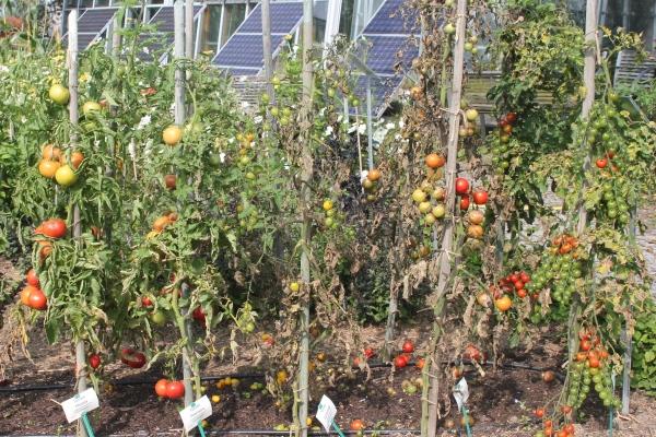 Tomaten Pflanzen Abstand Nat Rlicher Insektenschutz Diese