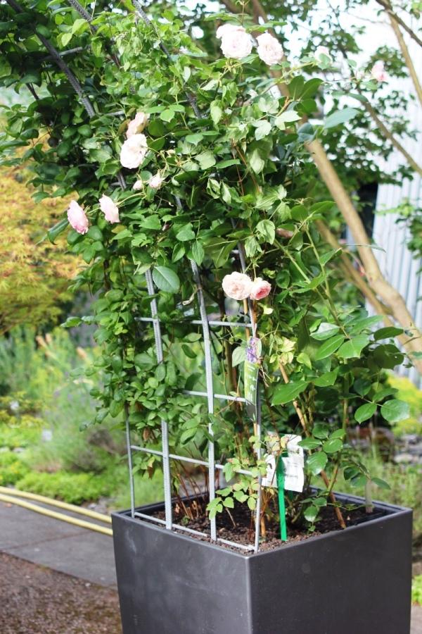 winterharte laub und nadelgeh lze zur bepflanzung von k beln