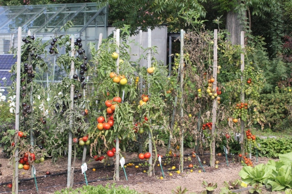 gesunde aromatische tomaten teil 1 phytophthorabefall. Black Bedroom Furniture Sets. Home Design Ideas