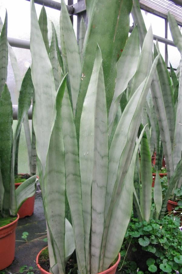 wohnzimmer pflanzen wenig licht : Pflanzen mit geringen ...