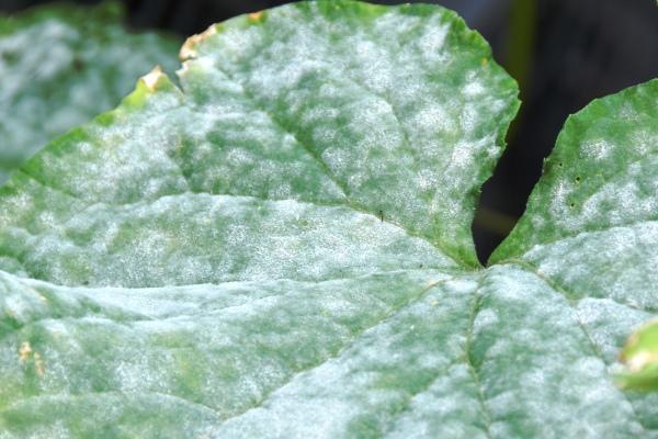 Gurken Weiße Flecken