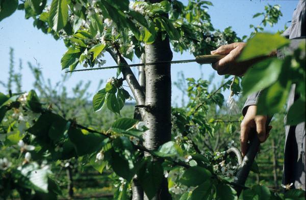 Geliebte Das Umveredeln von Obstbäumen im Haus- und Kleingarten #KZ_92