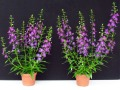 Angelonia 'Angelina Dark Violet': Links mit EM-Strategie, rechts ohne EM-Strategie