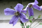 Clematis 'Blue Boy'