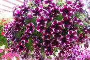 Petunia 'Sweetunia Miss Marvelous', Topfen in KW 11