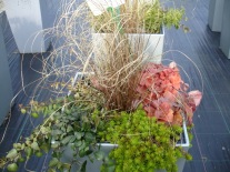 Carex 'Red Rooster' und Heuchera 'Timeless Orange' in Woche 7