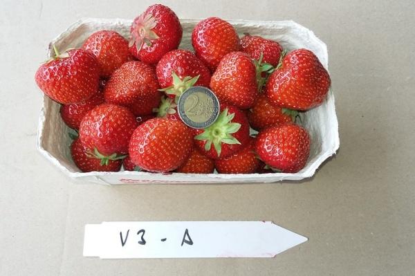m glichkeiten f r den nachbau von erdbeeren auf bodenm den standorten. Black Bedroom Furniture Sets. Home Design Ideas