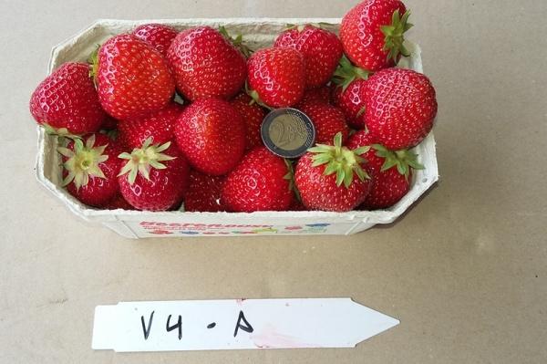 Untersuchungen Zum Nachbau Von Erdbeeren Auf Bodenmuden Standorten