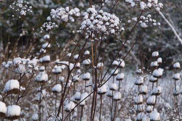 osmanthus burkwoodii pflege
