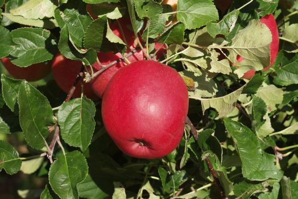 Alte Apfelsorten Bayern