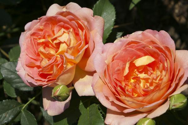 Rosenempfehlung Schöne Und Robuste Rosen Für Den Hausgarten